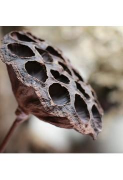 Цветок лотоса сухой открытый без семян