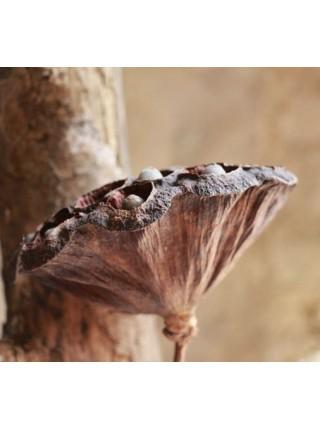 Цветок лотоса сухой открытый