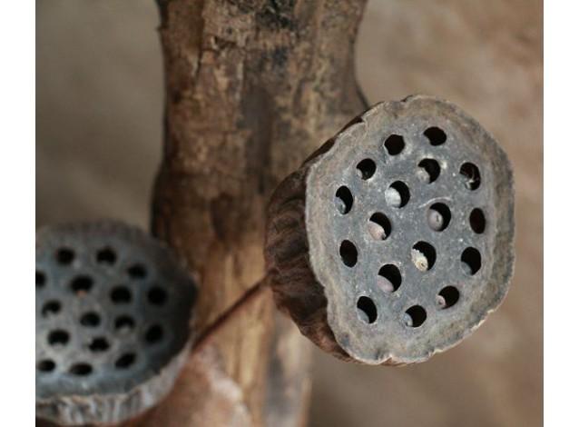 Цветок лотоса сухой закрытый